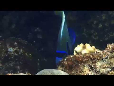 El QUSEIR - PESCE IMPERATORE - EMPEROR FISH