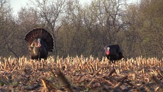 Spring Turkey Hunting - Tough Season Ends in Success