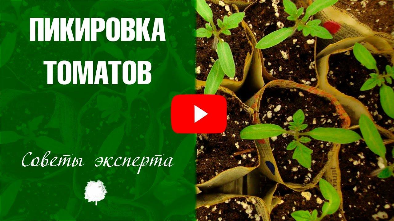 Как пикировать томаты на рассаду 82