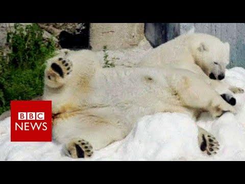 Lapland zoo polar bears enjoy snow gift- BBC News