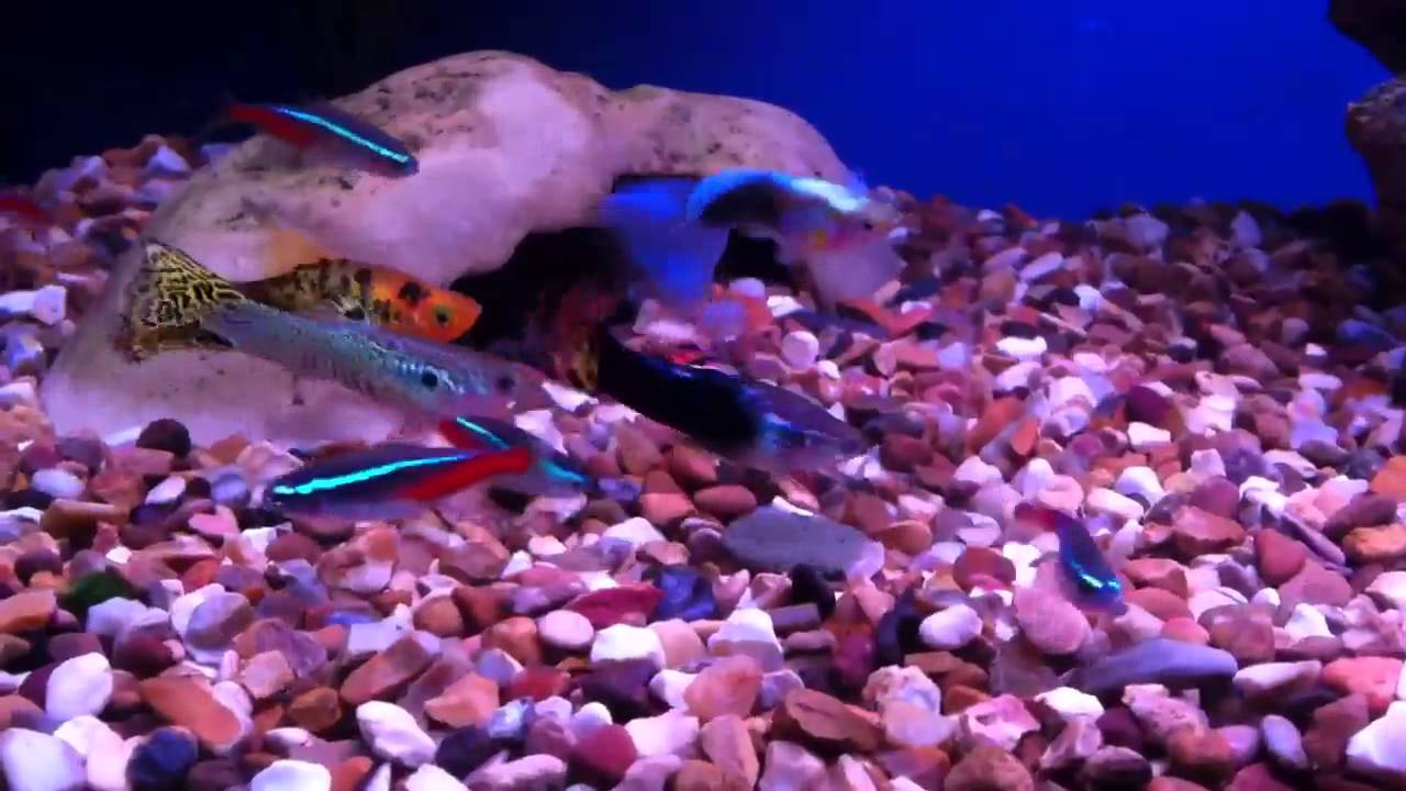 Neon Tetras And Guppies Neon Tetra Guppies And Platy