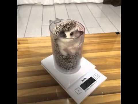 hedgehog weight