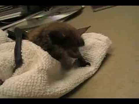 Baby Brown Bat II - Little Louisa Video