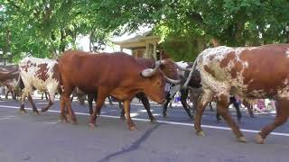 Longhorn Cattle Drive Through Downtown Amarillo - 2018