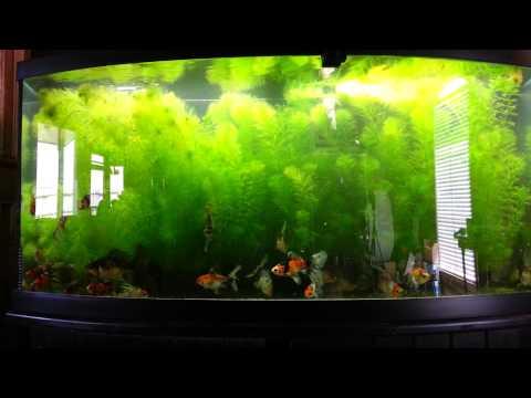 Shubunkin goldfish tank
