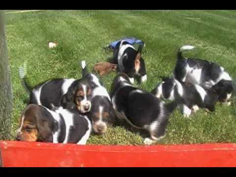 Basset Hound Puppies, Turbo x Venus Video