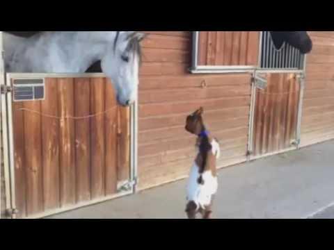 Goat Destroys Horse