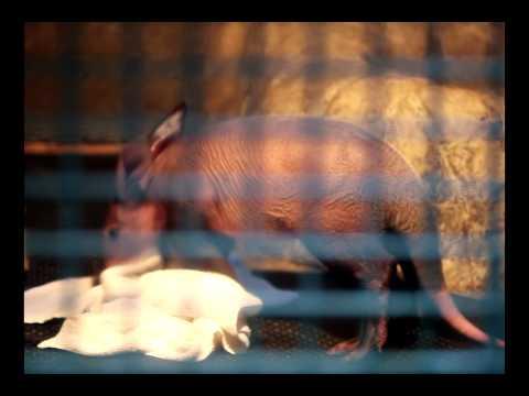 東山動物園「ツチブタっ子公開!」