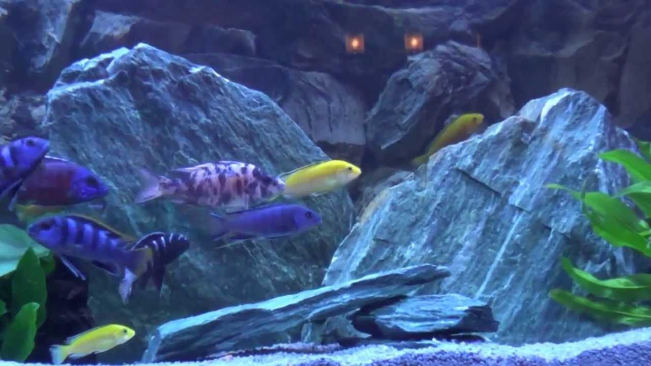 malawi fische buntbarsche in meinem aquarium bodensee. Black Bedroom Furniture Sets. Home Design Ideas