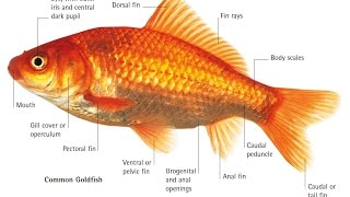 Common Gold Fish Body Parts