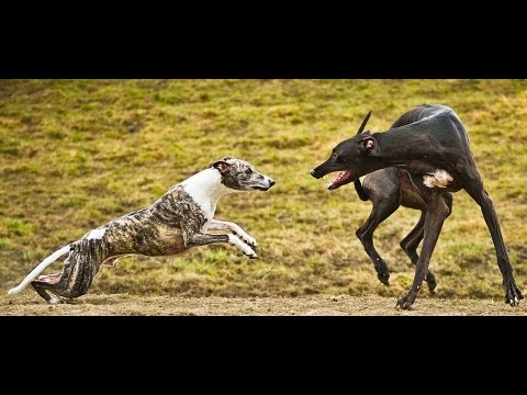 how to train a greyhound not to chase