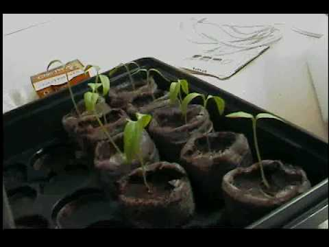 Aerogarden Chili Pepper Seed kit and Other Various Seedlings Video Part 3 Video