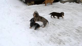 "Wirehaired dachshunds from kennel ""Iz Novo-Peredelkino"" are playing"