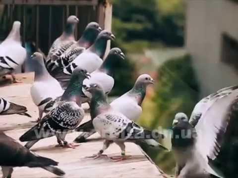 Спортивные голуби, или Из Украины в Румынию без билета