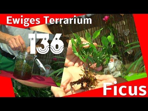 Ewiges Terrarium zur Anzucht von Stecklingen der Ficus benjamini