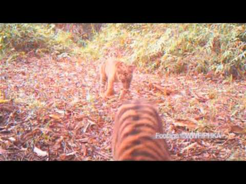 Endangered Sumatran tiger cubs caught on camera by WWF -- video - Environment - guardian.co.uk