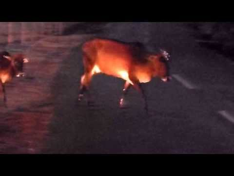 DRIVING , GOA , INDIA , 2014 , DANGER ,  COWS , AT NIGHT , ROADS