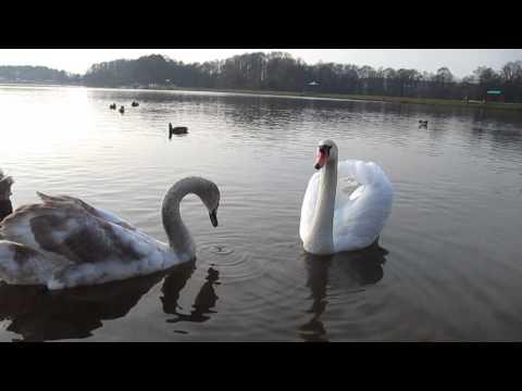 Гродно-Юбилейка-лебедята(swans) подросли,но улетать рано-11.11.14