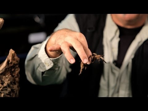How to Handle a Tarantula | Pet Tarantulas