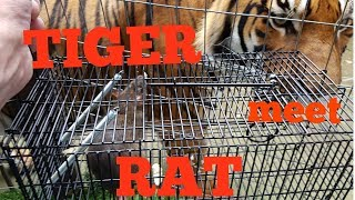 Tiger's reaction to meeting a rat.
