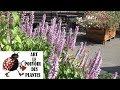 Jardinage Elsholtzia Stauntonii Menthe En Arbre Comment Faire La Taille Et Entretien Vivace mp3