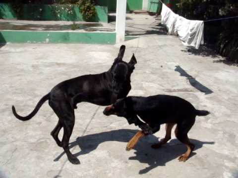 Great Dane Vs Rottweiler Playing