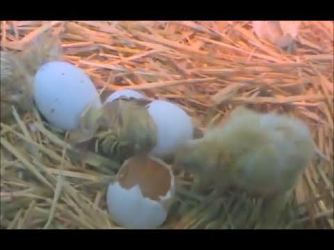 Nacimiento de un Pollito