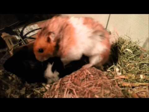 Hamster Sex