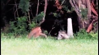 Bobcat vs Raccoon - EPIC fight scene
