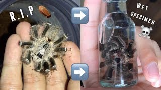Tarantula on its DEATHBED and PRESERVATION