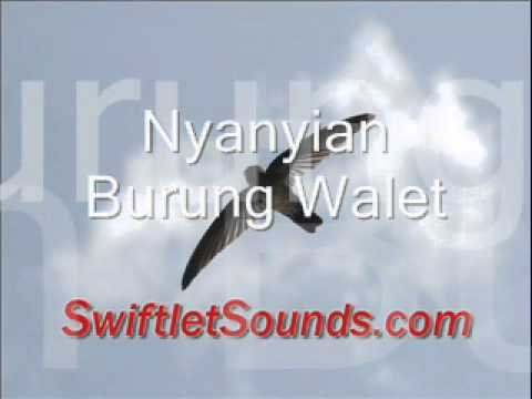 Swiftlet Sound Nyanyian Burung Walet External Sound video
