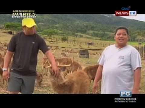 GorillaPosition.com - Mga maamong usa, pinararami sa Mt. Isarog Deer Farm