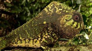 Casque-headed lizard hiding (Corytophanes cristatus)