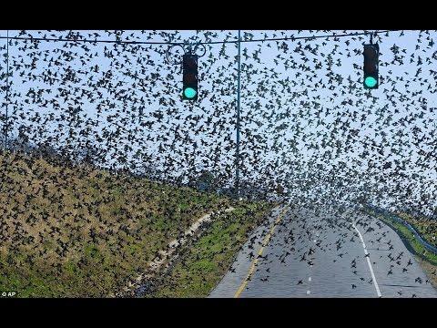 Registran Raro Comportamiento de Miles de Aves en el Mundo   Enero 2017