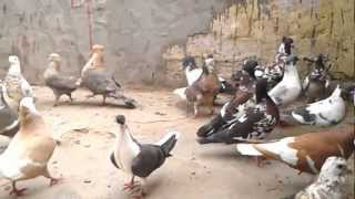 Agra Beautiful Pigeons 28 India-indian