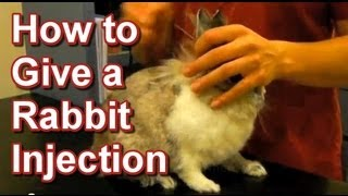 How to Give a Rabbit Injection - Tai Wai Small Animal & Exotic Veterinary Hospital