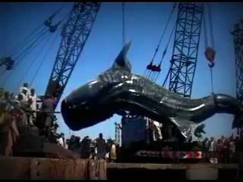 40 Feet Long Shark in Karachi Fish Harbour 07 02 2012