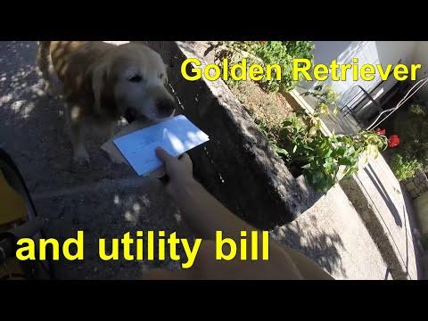 メール便をご主人の代わりに受けるゴールデンレトリバーが素敵♪