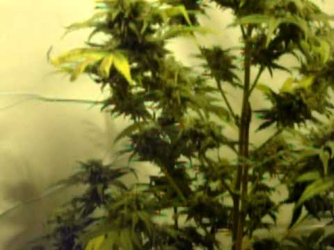 White Widow 8 weeks flowering, Greenhouse Seed Co strain