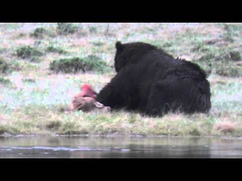 Bear eating an elk calf.  Part 3.  (Warning: Very Graphic)