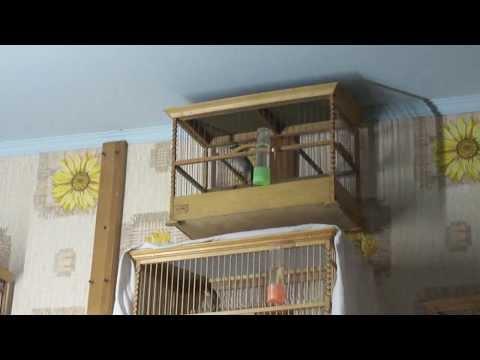 Славка черноголовая содержание в домашних условиях