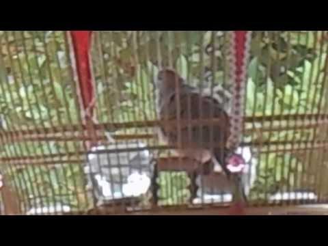 นกเขาชวาขุนเดช merbok@yysr chana