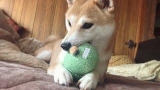 手癖の悪い飼い主からおもちゃを守る柴犬 Dog won't let me take her toy