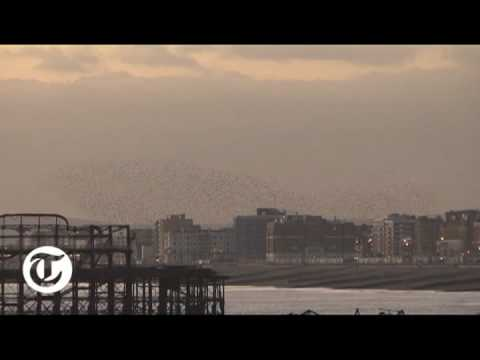 The Starlings of Brighton Pier