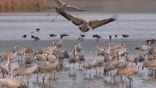"Common Cranes wintering in"" Agamon""Hula swamps in Israel"