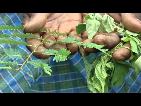 Pankaj Oudhia's Healing Herbs: Diabetes mellitus Type 2 with Chronic Renal Failure. HF-158