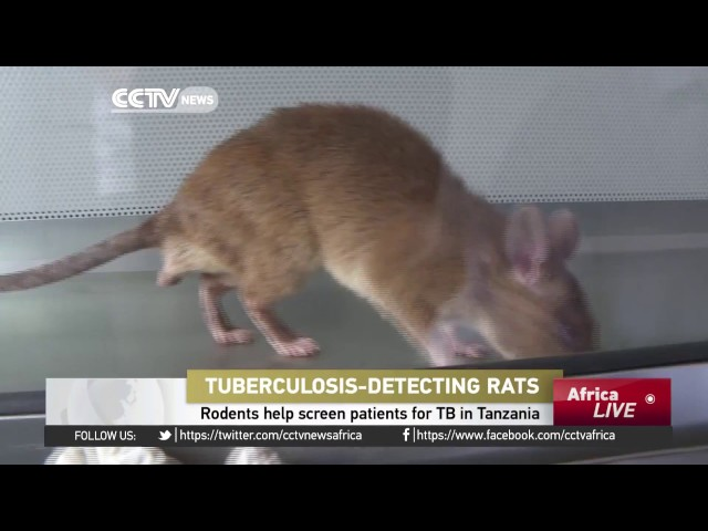 Rodents help screen patients for TB in Tanzania
