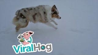 Montana Dog Loves Playing in Snow || ViralHog