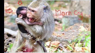 Jessie's mom cry so loudly cos pity her baby was hit by bit monkey, It looks so hurt mom monkey