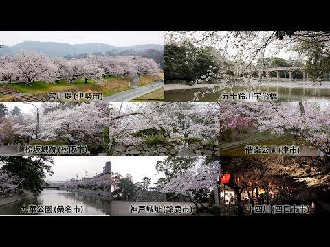 三重県伊勢湾岸の桜